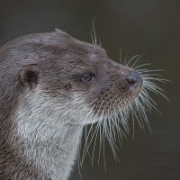 Otter im Nationalpark Lusen