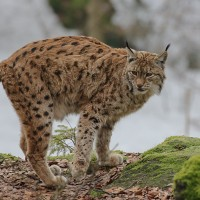 Luchs im Nationalpark Lusen